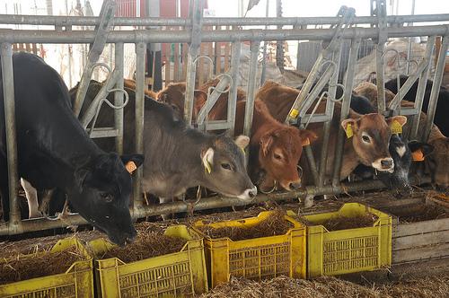 Padulano Cows Feeding
